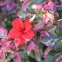 Mid-Winter Downunder - Hibiscus rosa-sinensis 'Roseflake' flowering (Hibiscus rosa-sinensis (Chinese Hibiscus))