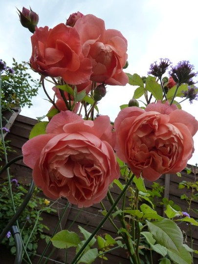 Rosa `Summer Song`