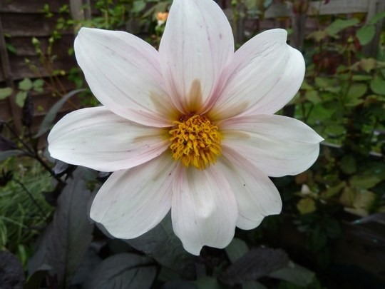Dahlia `After Eight`