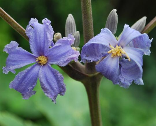 Clematis....... (Clematis heraclefolia)
