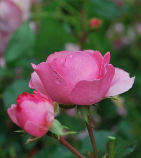 Rose bud in the rain.... (rosa)