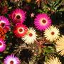 Mesembryanthemum(Livingstone Daisy)