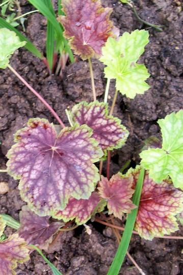 A garden flower photo (Heuchera americana (Alum Root))