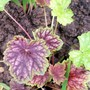 A garden flower photo (Heuchera americana (Alum Root))