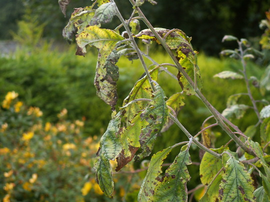 Damage to damson leaves