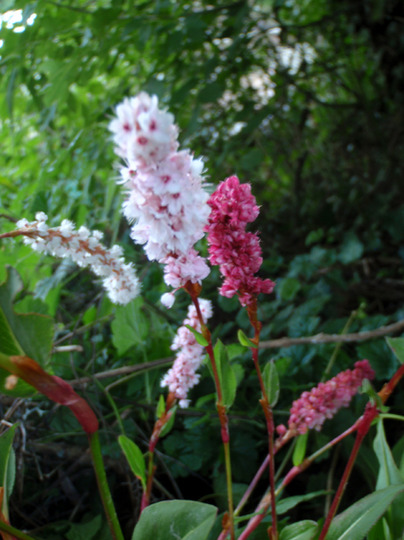 Polygonum affine (Polygonum affine)