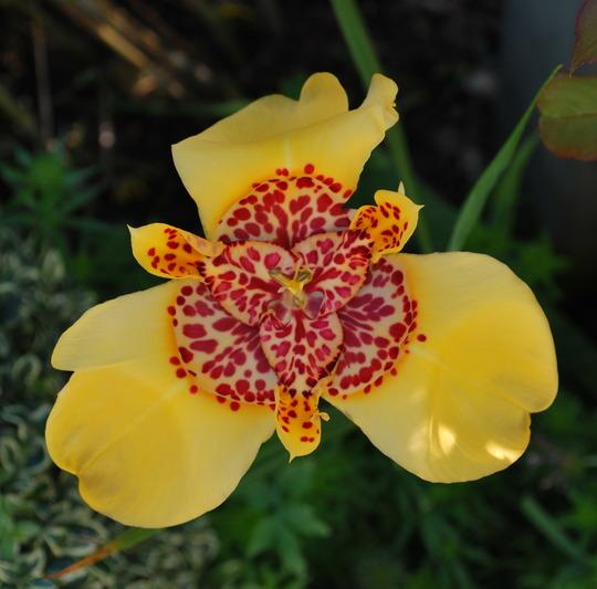 Tigridia..... (Tigridia pavonia (Tiger flower))
