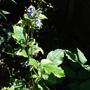 Clematis 'Tubulosa davidiana'
