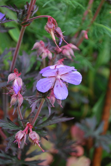 Hardy Geranium Black Beauty. (Geranium pratense (Meadow cranesbill))