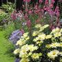 leucanthemum broadwaylights