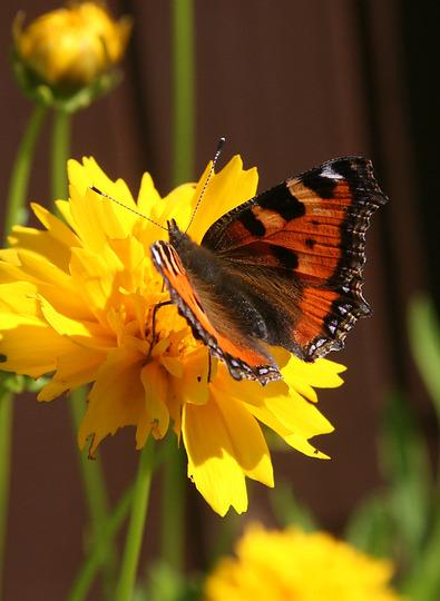 'Tortoiseshell' Butterfly (Coreopsis grandiflora (Coreopsis Sunray))