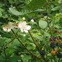 Bramble Flower and berries!