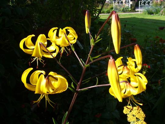 23.7.11 050 (Lilium leichtlinii)