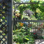 Decking pergola...... (Vitis  Boskoop Glory)