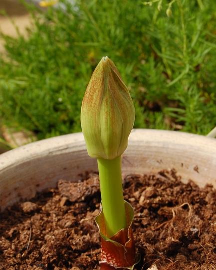 Scadoxus multiflorus  (Scadoxus multiflorus)