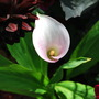 Calla Lily.... (Calla palustris (Bog Arum))