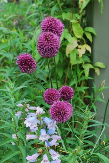 Allium sphaerocephalon. (Allium sphaerocephalon (Round-headed leek))