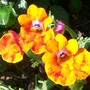 A garden flower photo (Nemesia strumosa (Nemesia))