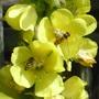 Hoverflies on Verbascum