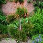 Punica granatum nana  (Punica granatum nana)