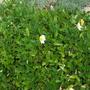 Dryas octopetala or Mountain Avens, flowering again (Dryas octopetala (Mountain avens))