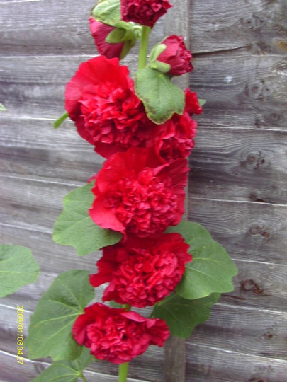 Blooming hollyhocks out at last :)