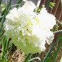 A garden flower photo (Dianthus plumarius (Border Pink))