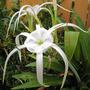 Hymenocallis (Spider Lily)