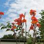 Orange Cannas