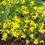 A garden flower photo (Spartium junceum)