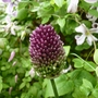 Allium sphaerocephalon with clematis 'pagoda' behind. (Allium sphaerocephalon (Round-headed leek))