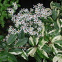 White_aster_and_palette