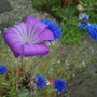 Corncockle and Cornflowers 1