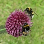 Close up of the bees enjoying the Allium flowers 