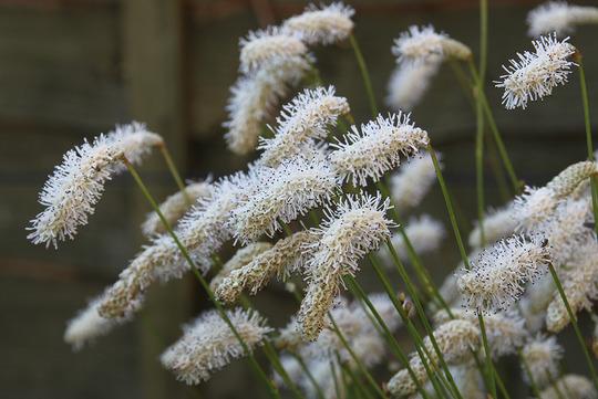 Sanguisorba tenuifolia 'Alba' (Sanguisorba tenuifolia 'Alba')