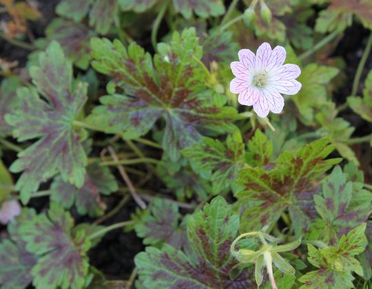 Geranium x oxonianum 'Katherine Adele' (Geranium x oxonianum 'Katherine Adele')