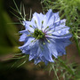 Love in a Mist  (Nigella damascena (Love-in-a-mist))