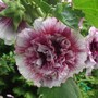 Hollyhock 'Creme De Cassis' ( double) grown from seed they took 2 years. (Hollyhock 'Creme De Cassis' (Alcea rosea))
