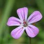 Geranium robertianum (Herb Robert) (Geranium robertianum)