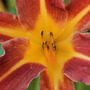 Up close and personal with 'Sammy Russell'. (Hemerocallis)