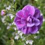 Geranium himalayense 'Birch Double' (Geranium himalayense)