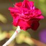 Lychnis coronaria 'Gardeners' World' (Lychnis coronaria 'Gardeners World')