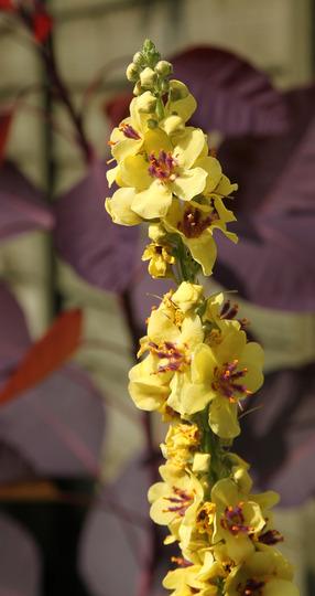 Verbascum chaixii 'Cotswold Beauty' (Verbascum chaixii)