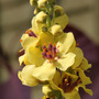Verbascum chaixii 'Cotswold Beauty' (Verbascum chaixii)