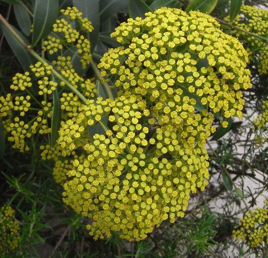 Bupleurum fruticosum - 2011 (Bupleurum fruticosum)