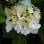 White_hydrangea