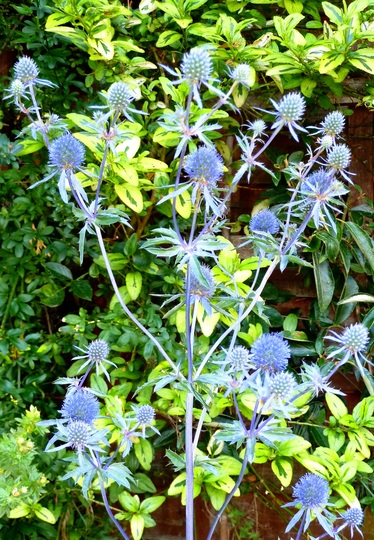 ERYNGIUM [ Sea Holly ]