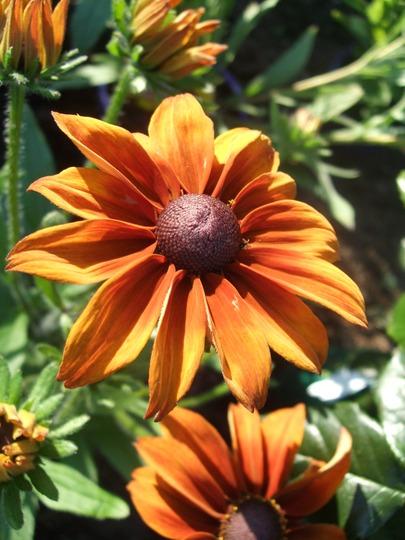Rudbeckia 'Autumn Shades' (Rudbeckia)