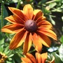 Rudbeckia &#x27;Autumn Shades&#x27; (Rudbeckia)