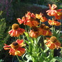 Helenium_sahin_s_early_flowerer_
